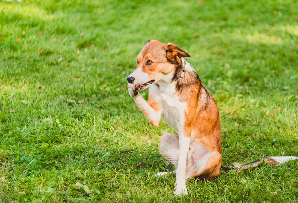 Brown and white dog biting its paw sitting in grass outdoors