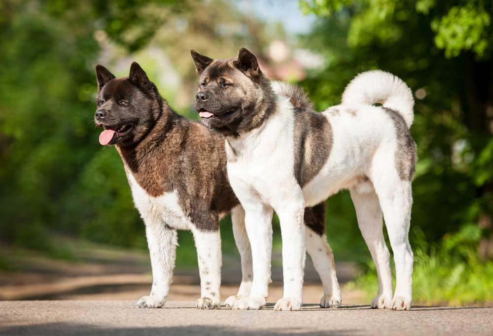 2 Akita standing side by side on a road with trees in the background