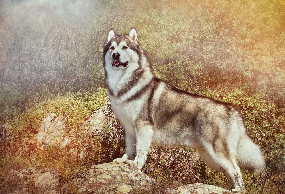 Alaskan Malamute standing on large rocks in front of trees