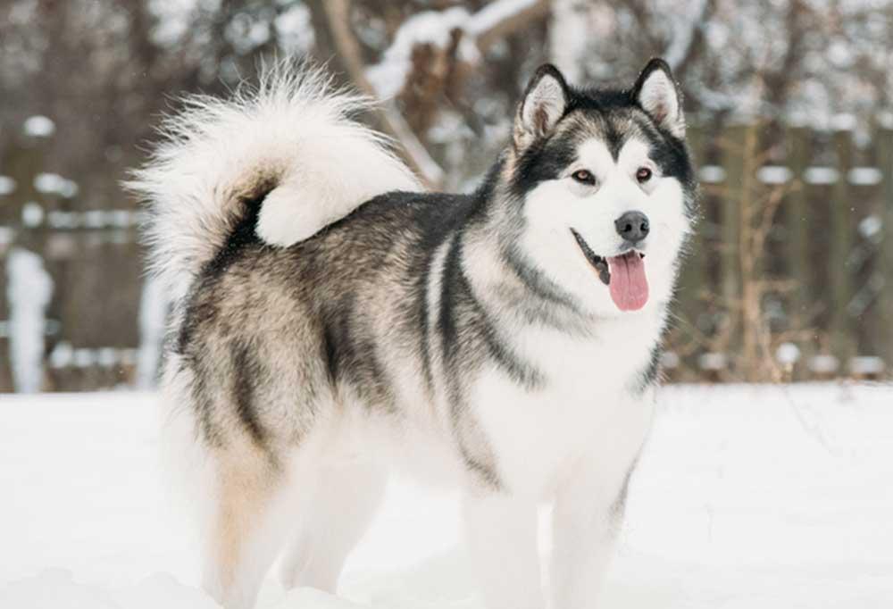 Alaskan Malamute standing outside in the snow