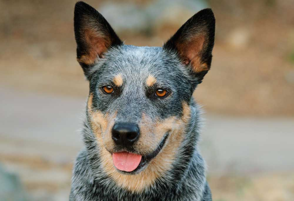 Close up portrait of an Australian Cattle Dog