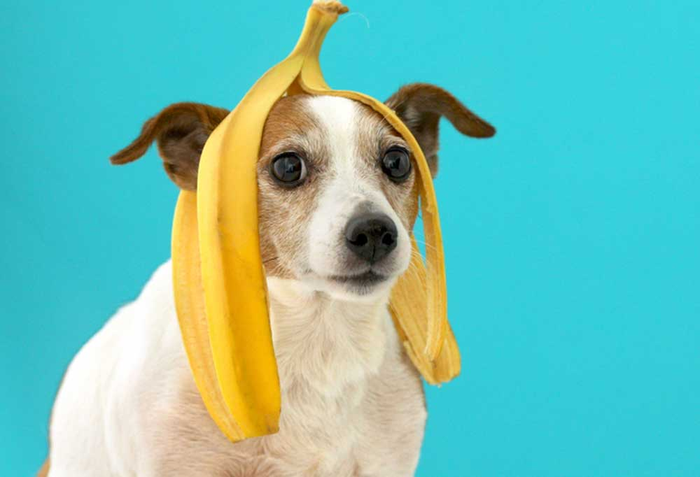 Jack Russell Terrier on blue background with banana peel on head