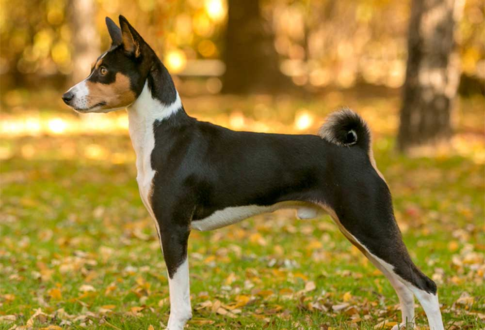 Black and Tan Basenji standing  at a side view with perfectly curled tail