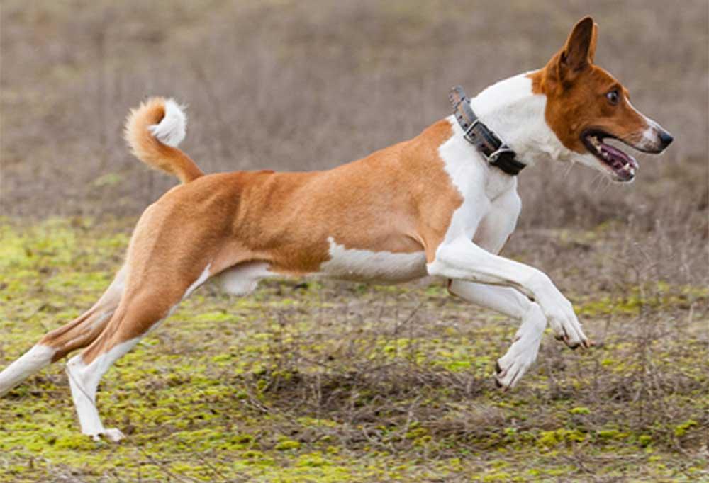 Basenji running and jumping outdoors