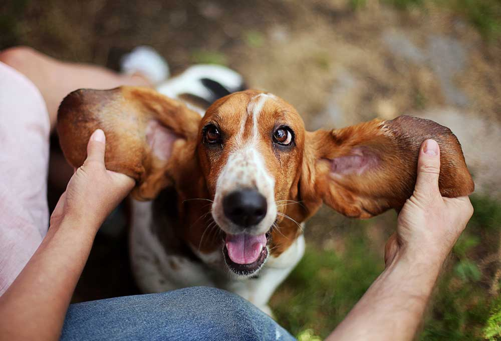 Close up of Basset Hound with his ears being held out by human hands