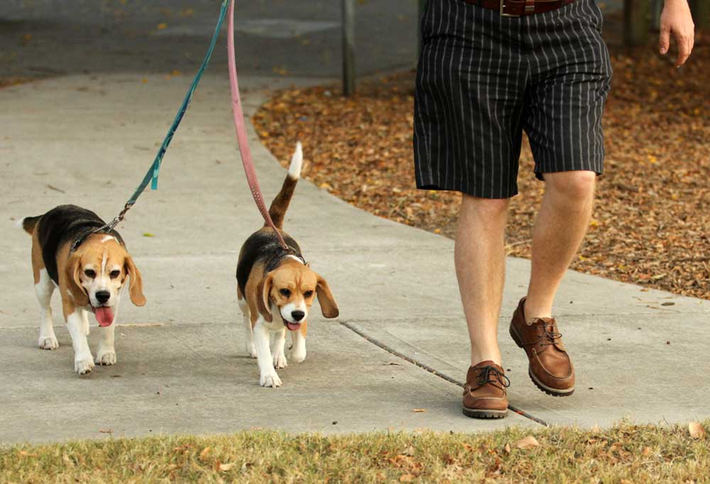 2 beagles being led on leashes