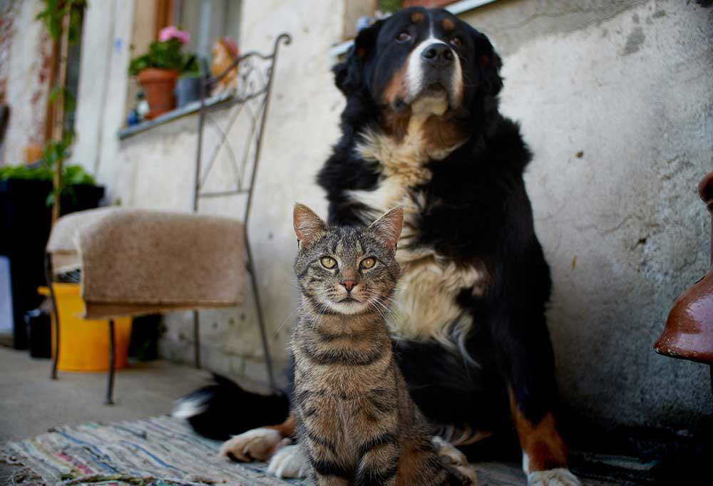 Bernese Mountain Dog and cat leaning against outside wall of house