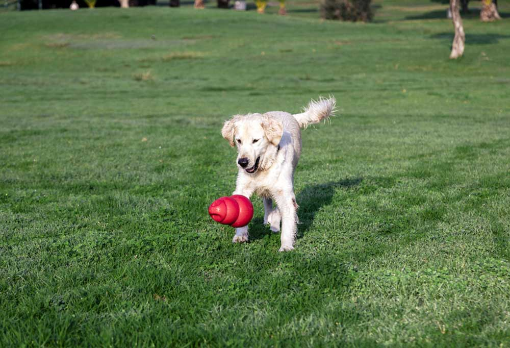 White dog in park playing with a Kong
