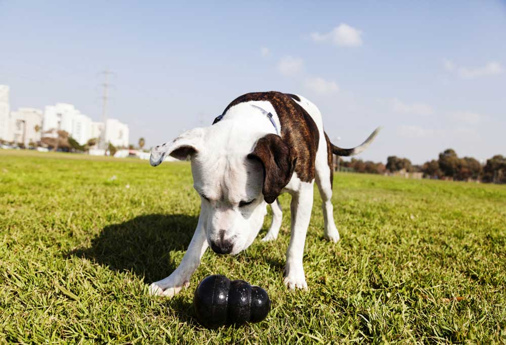 Brown and white dog in park playing with Kong
