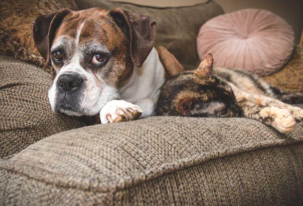 Old Boxer dog and cat laying on couch