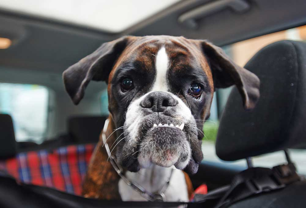 Boxer riding in a car, looking silly  with his bottom teeth sticking out and slightly sideways