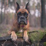 Boxer leaning on fallen tree