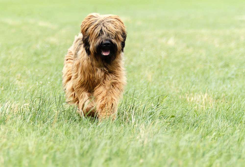 Briard running across a grass field