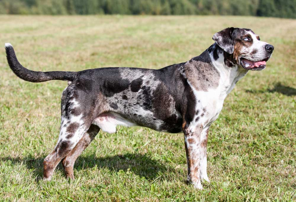 Catahoula Leopard Dog standing at attention in a grass covered field.