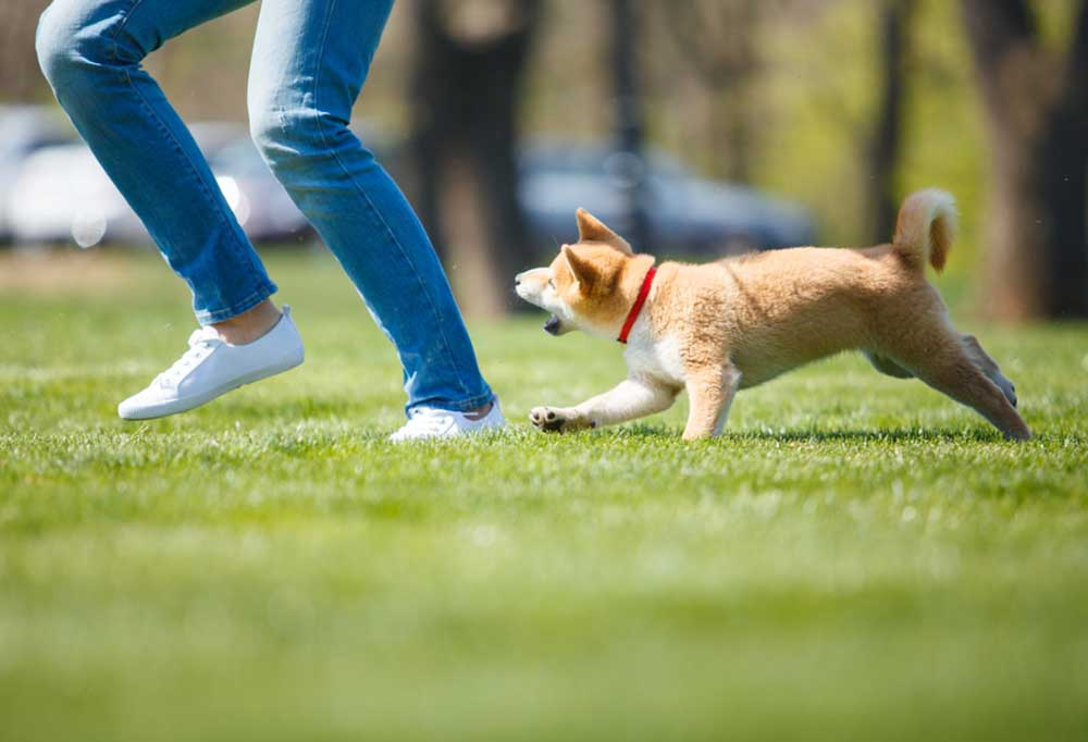 Dog barking at persons  legs as they run in the grass