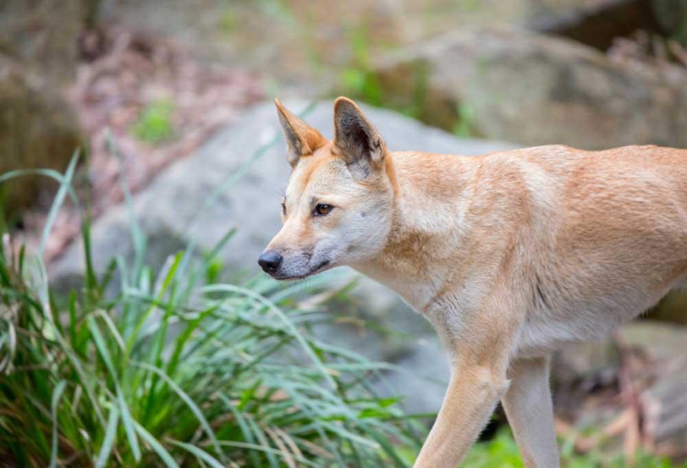 close up of dingo dog walking