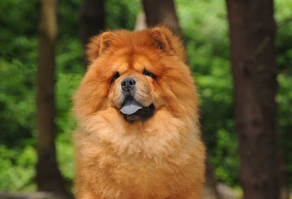 Close up portrait of a Chow Chow
