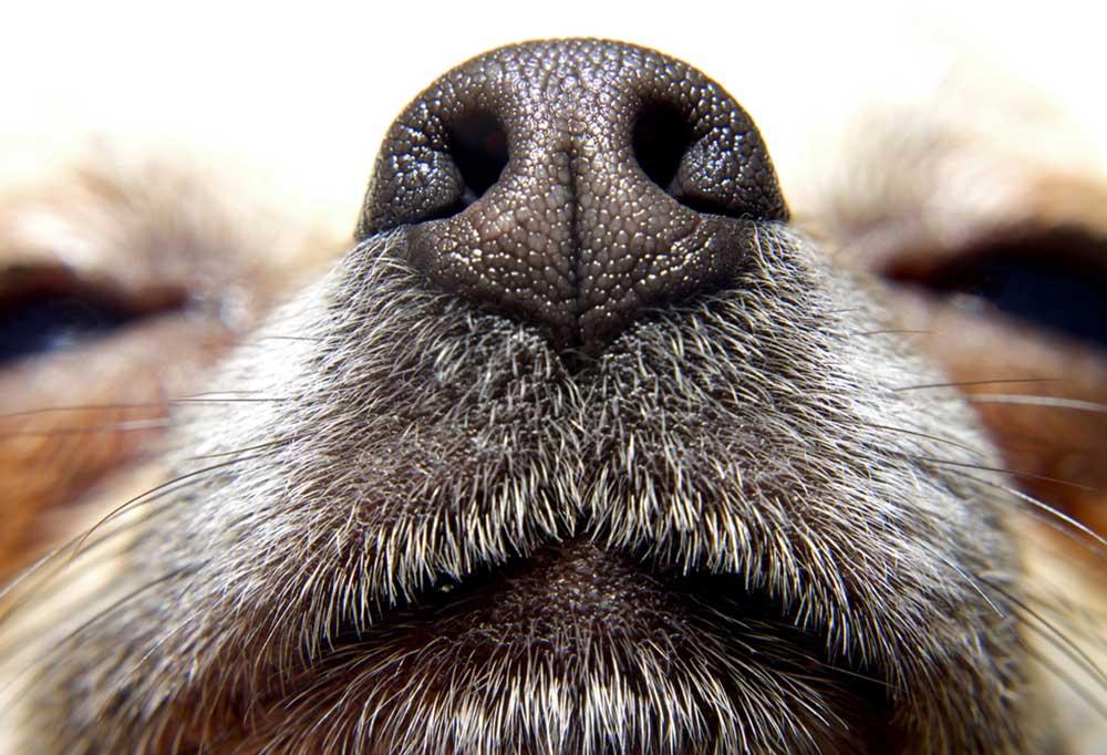 Closeup of dog nose