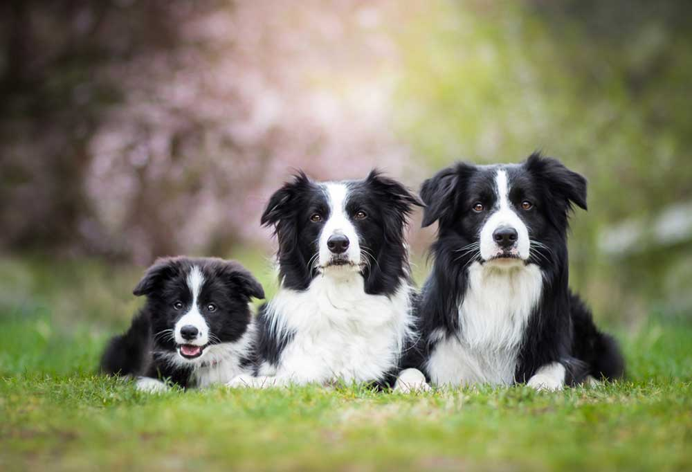 3 Collie laying in grass