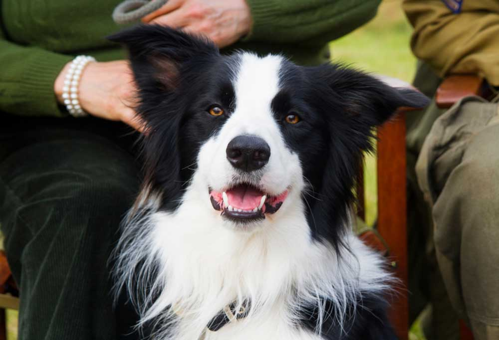 Close up of Collie sitting next to persons legs