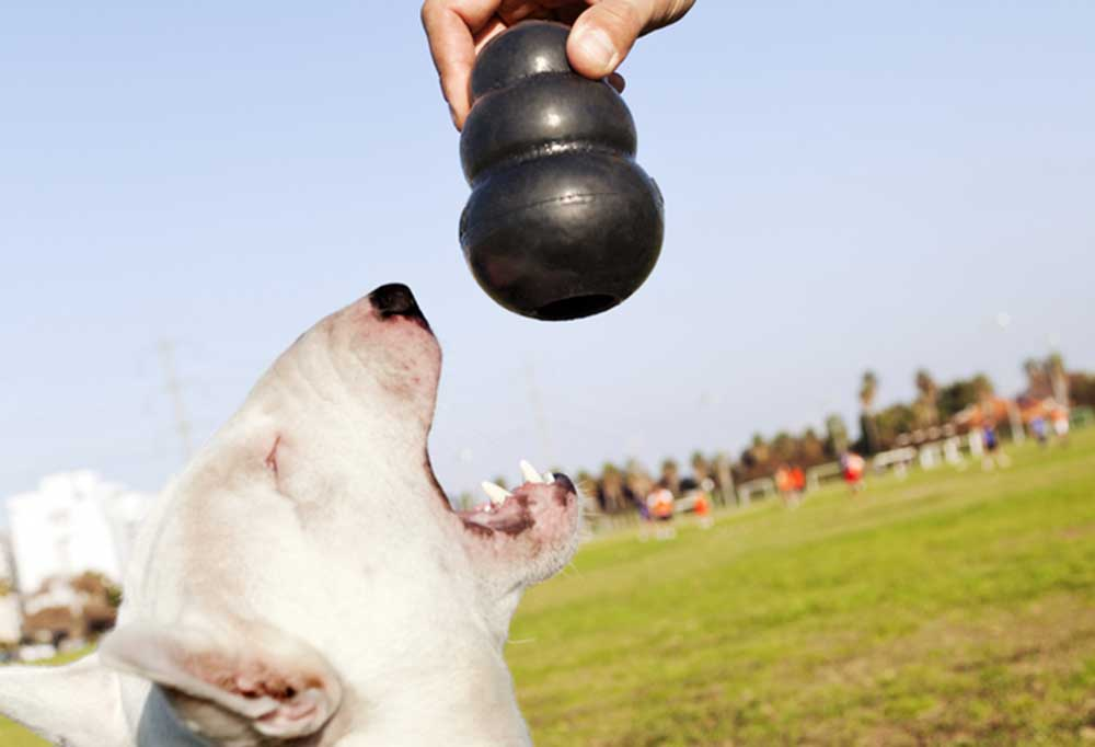 White dog with mouth open reaching for black Kong