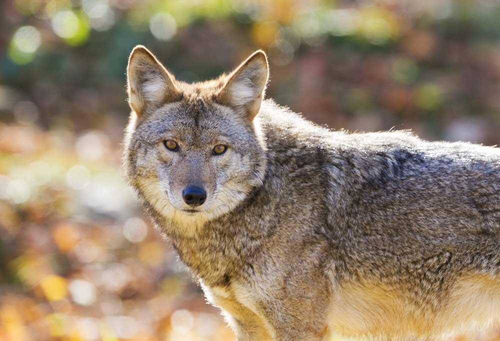 Coyote closeup outdoors
