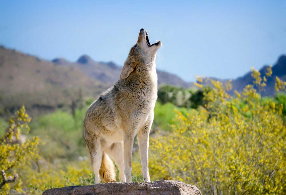 Coyote howling while standing on large rock