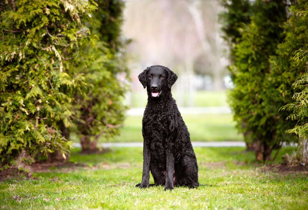 Curly Coated Retriever sitting outdoors in grass surrounded by trees