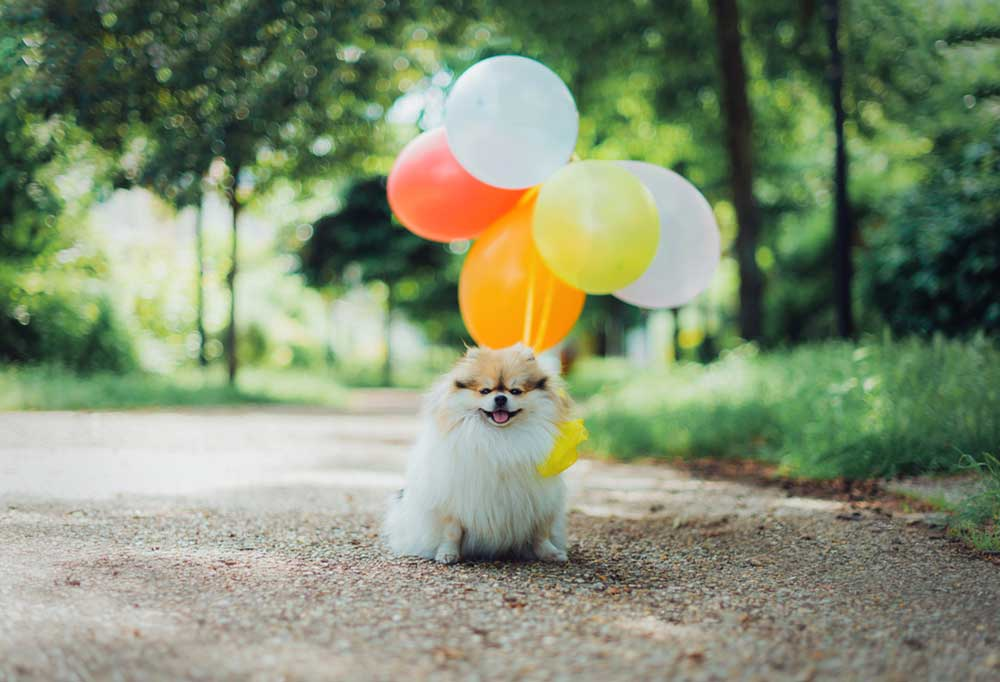 Pomeranian sitting outside with bunch of balloons