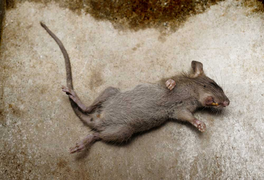 dead mouse on its back on concrete