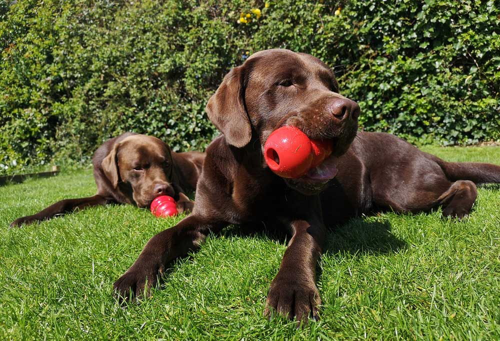 2 chocolate labs laying in grass outdoors chewing Kongs