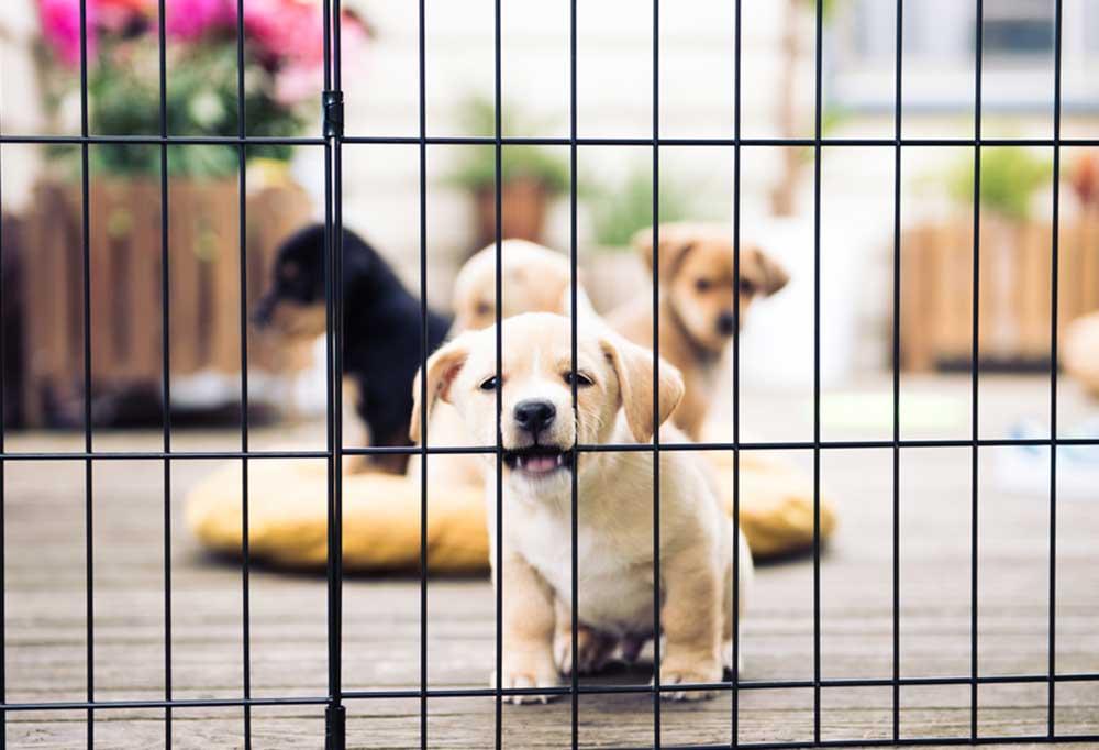 Puppy in puppy pen on deck biting bars