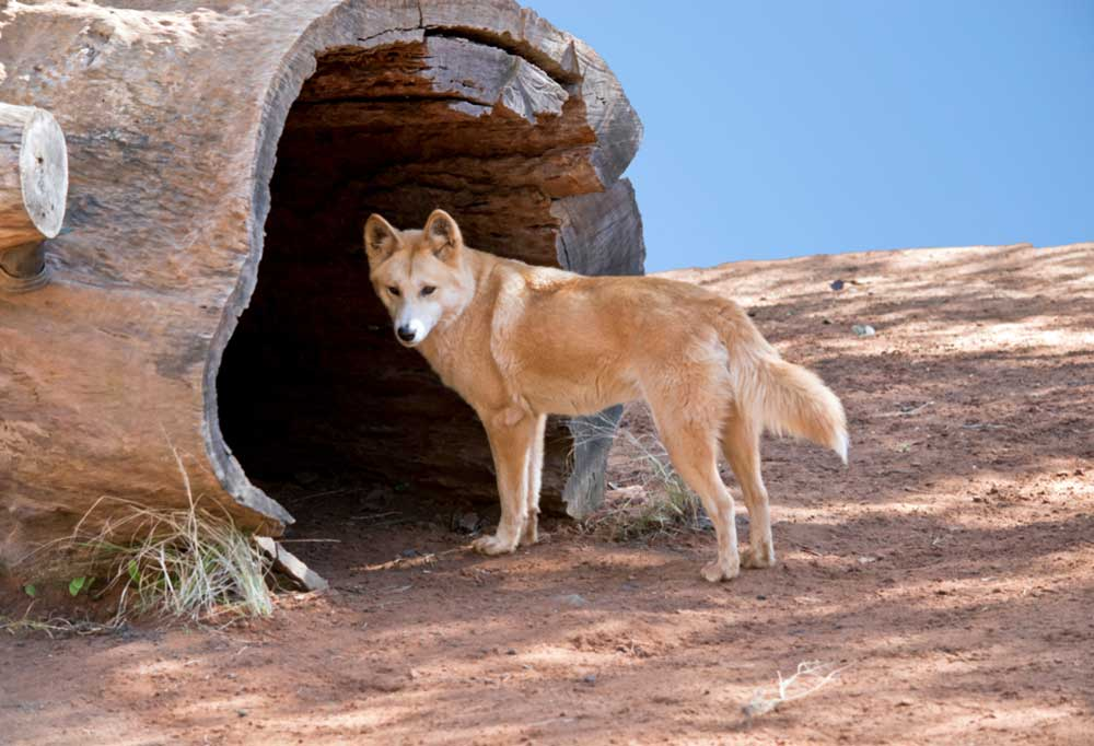 Dingo Dog standing at opening of hollow fallen tree