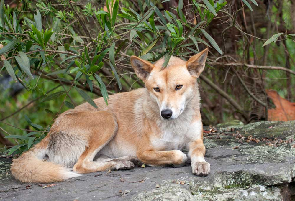 Dingo Dog laying on a rock under trees