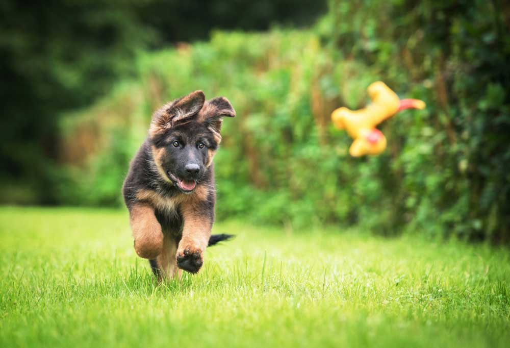 German Shepherd Puppy running after a toy outdoors in the grass