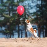 Jack Russell Terrier chasing red balloon