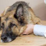 Sick dog on vet exam table