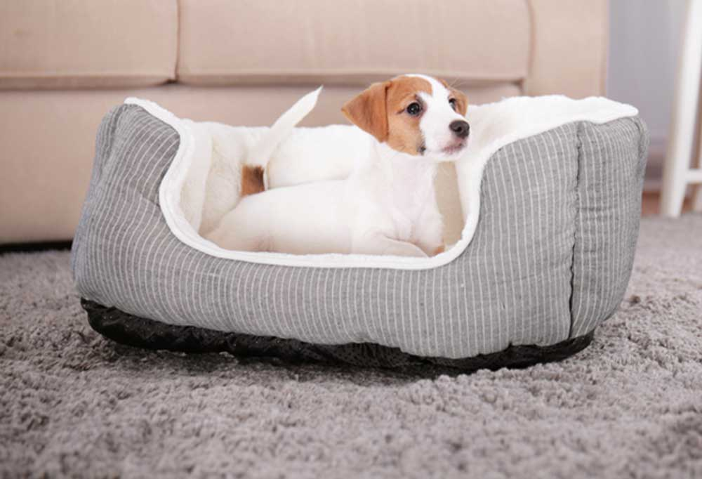 Jack Russell Terrier in a gray dog bed