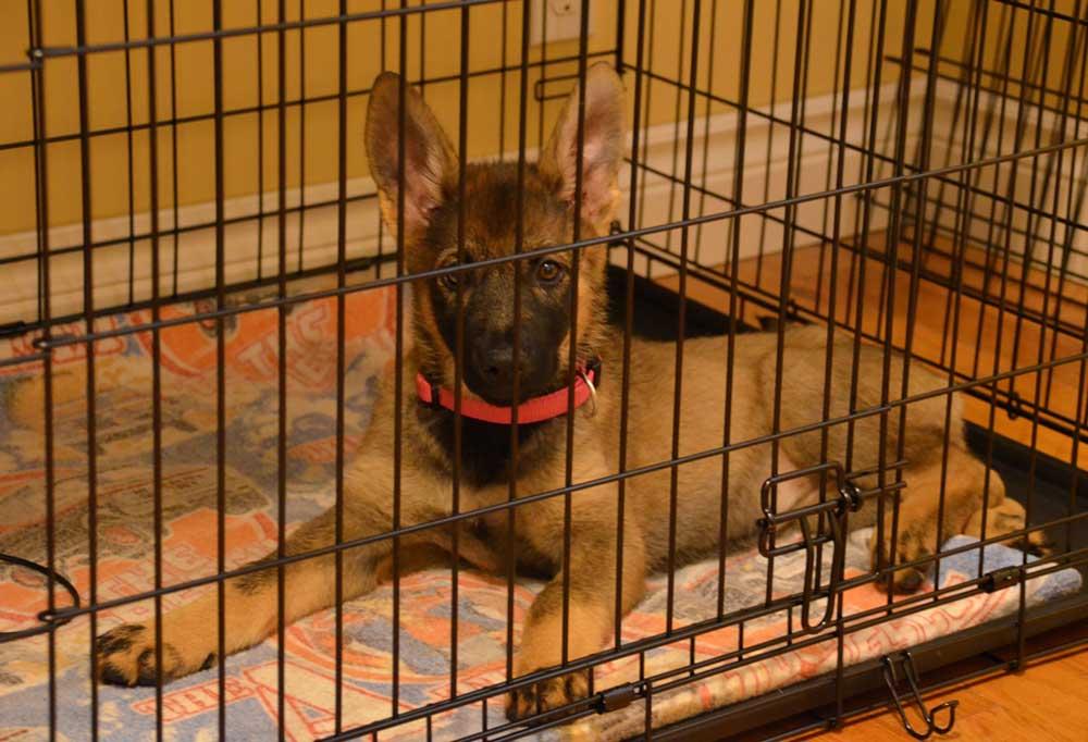 German Shepherd Puppy in a dog crate