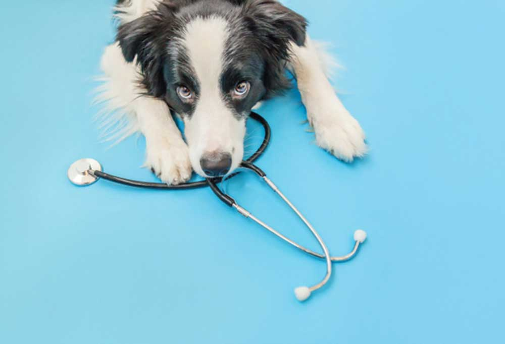 black and white dog with stethoscope on blue background