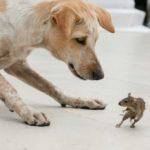 Dog Chasing Mouse