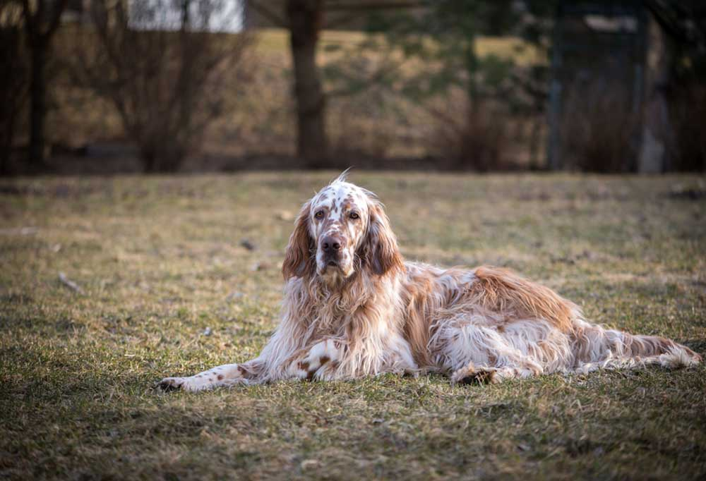 English Setter laying in grass