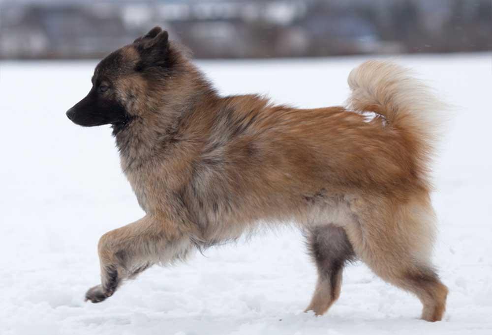 Eurasier running through snow
