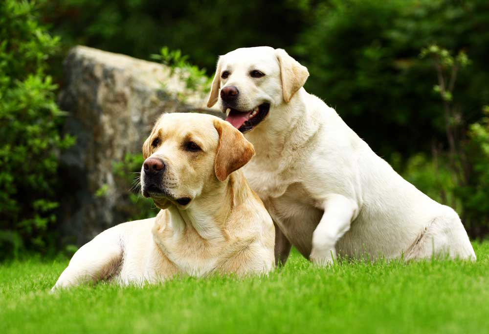 2 adult yellow labs laying in grass