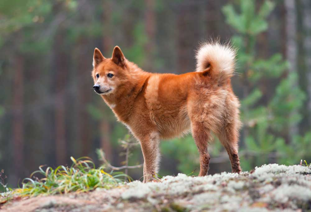 Finnish Spitz standing on a hill outdoors in front of a Forrest
