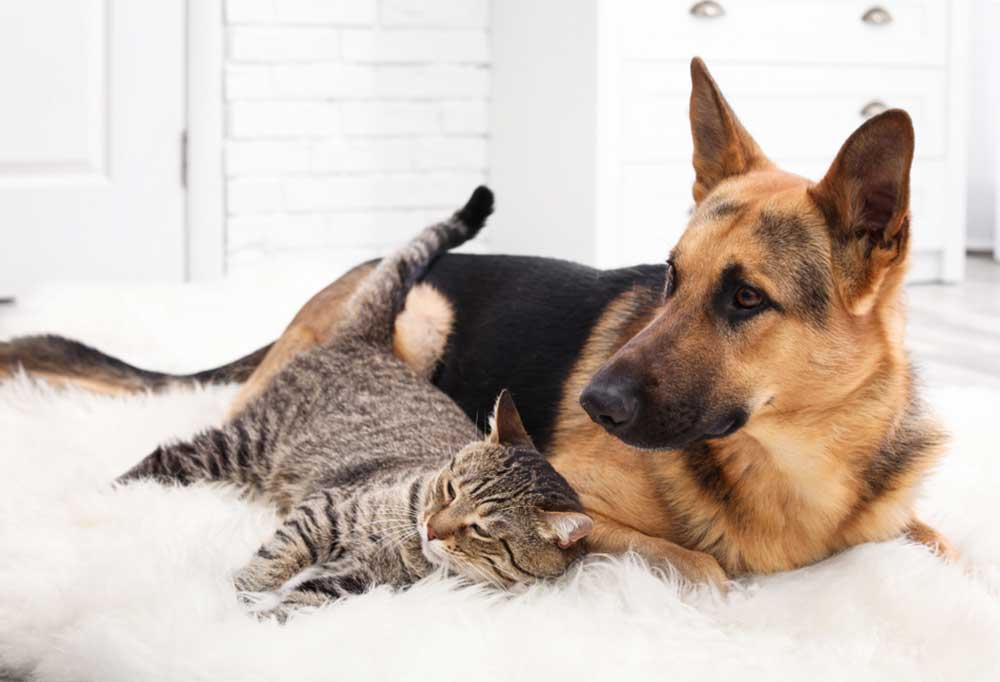 German Shepherd paying with cat on furry rug