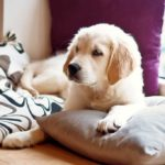 Yellow Labrador puppy laying on a window bench on pillows