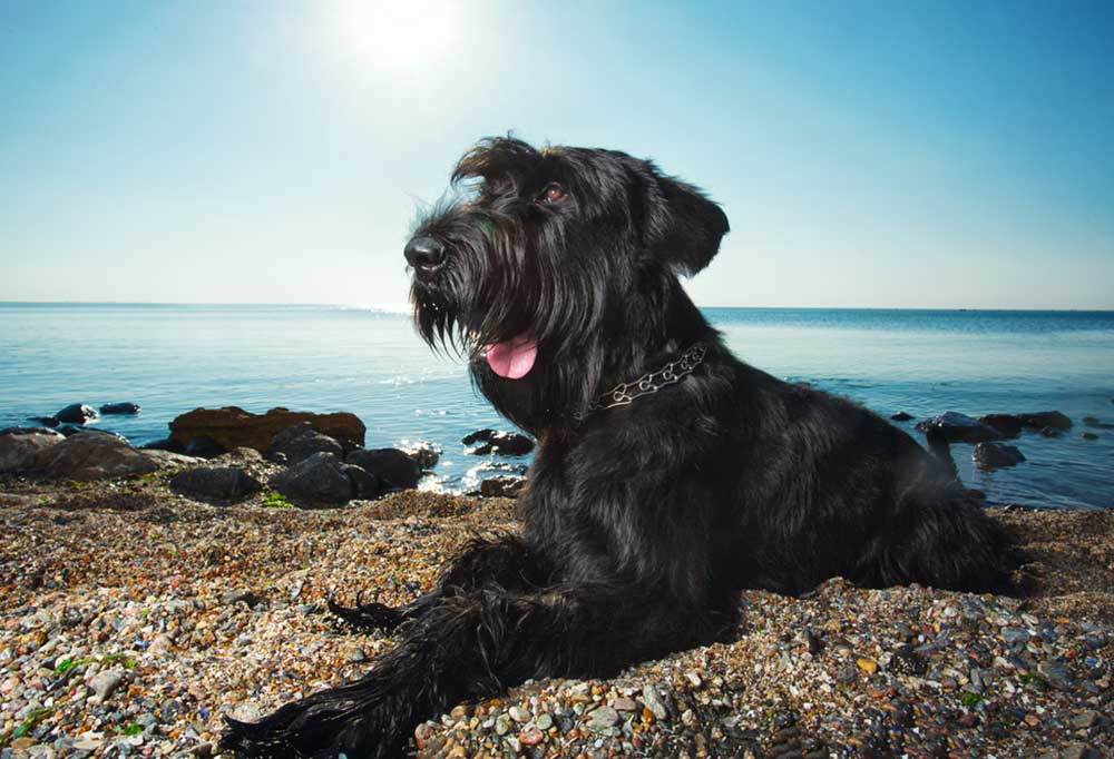 Giant Schnauzer laying on a pebbly beach
