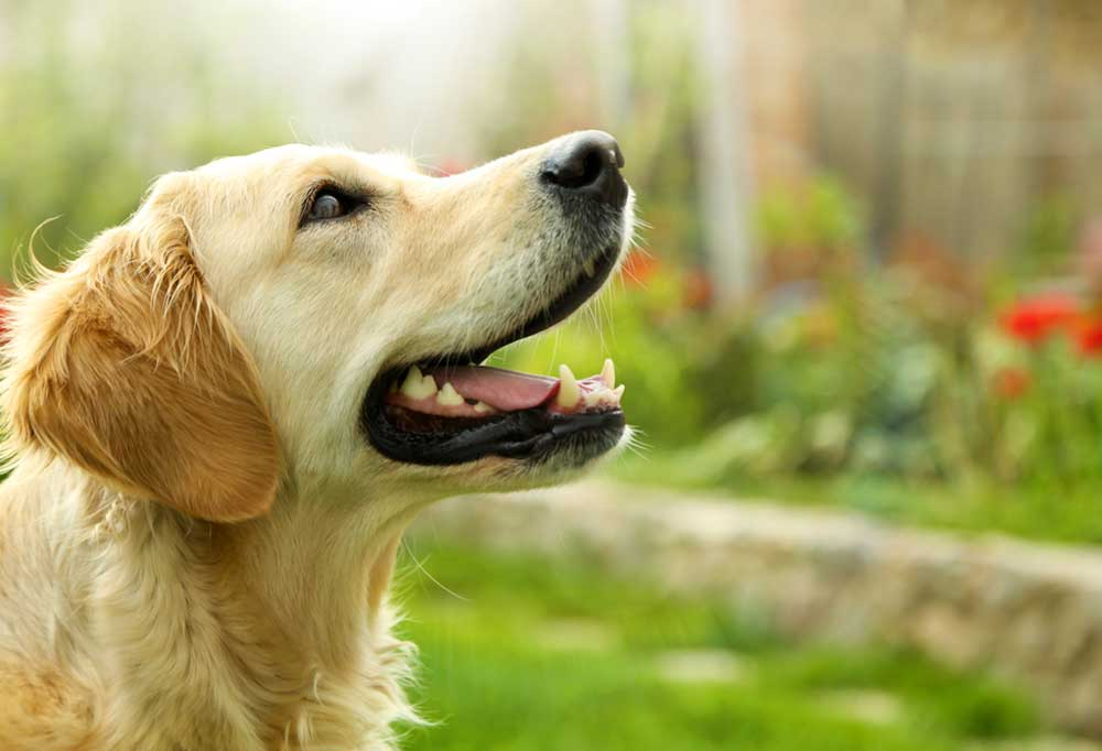 Close up of Golden Retriever outdoors looking up