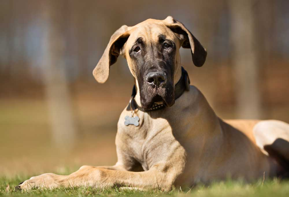 Great Dane laying outdoors in grass looking into the camera
